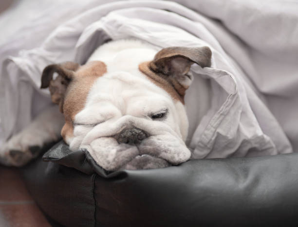 dog in bed under the blanket stock photo