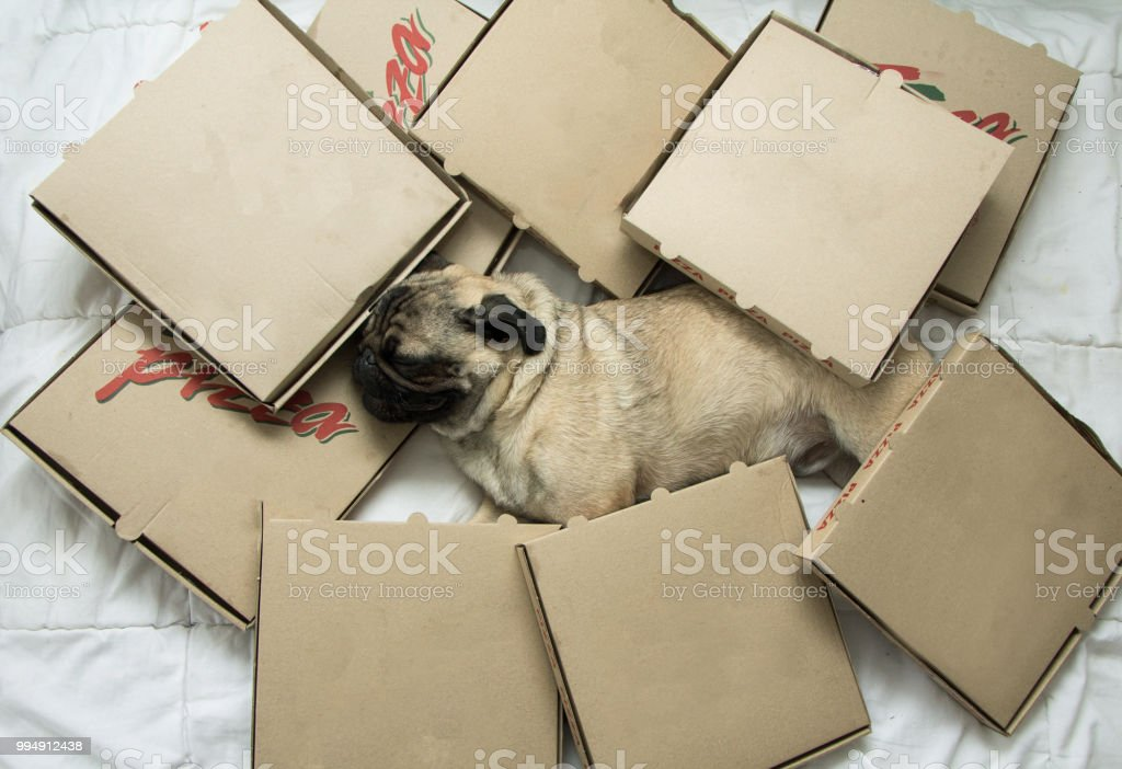 Dog in box of pizza stock photo