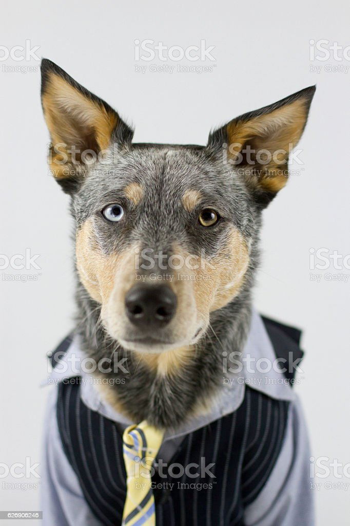 Dog in Business Suit with tie stock photo