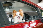 istock Dog in car. Pet travelling concept. A cute Papillon dog is in the red car. Pure breed dog Continental Toy Spaniel Papillon. 1197443090