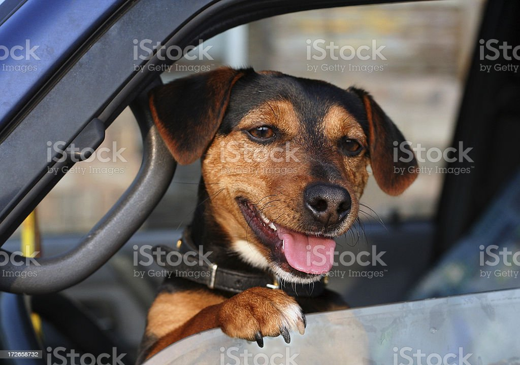 Dog in car royalty-free stock photo