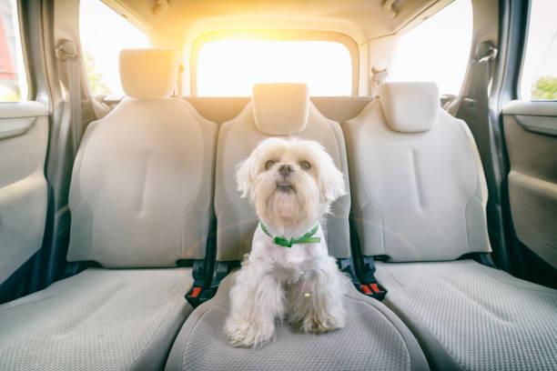 Hund im Auto allein sitzen – Foto