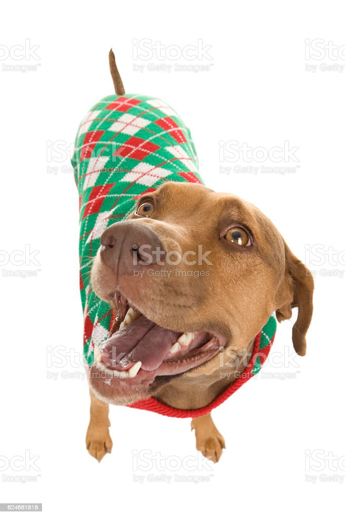 Dog In Christmas Sweater stock photo