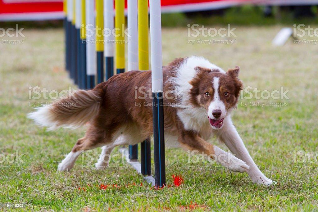 Perro en la competencia - foto de stock
