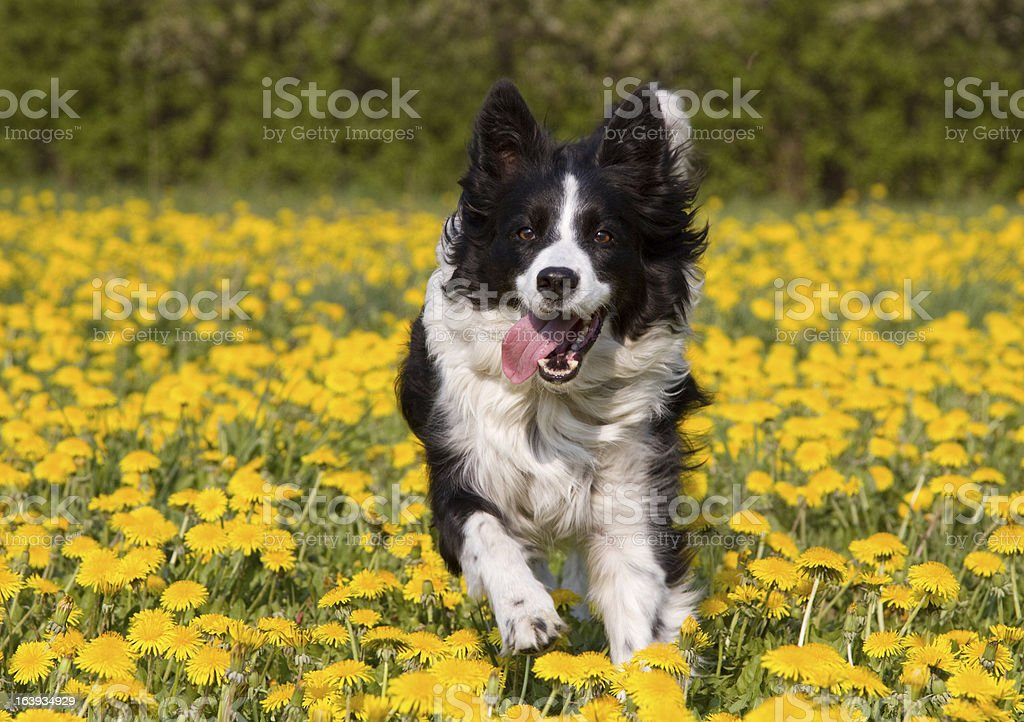 Dog in dandelion field. foto