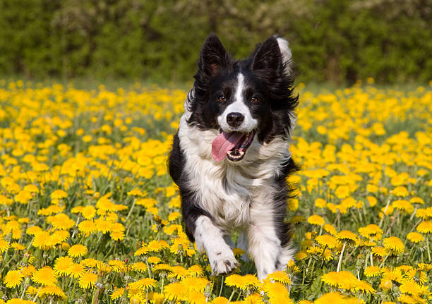 Dog in dandelion field. Happy running dog in a field of dandelion in spring. approaching stock pictures, royalty-free photos & images