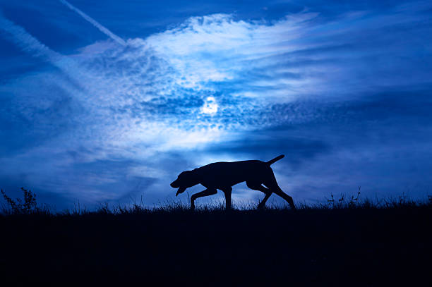 Dog in darkness Silhouette of a dog at night dog hunt at night stock pictures, royalty-free photos & images