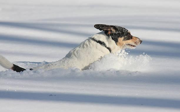 Dog in Deep Snow! bildbanksfoto