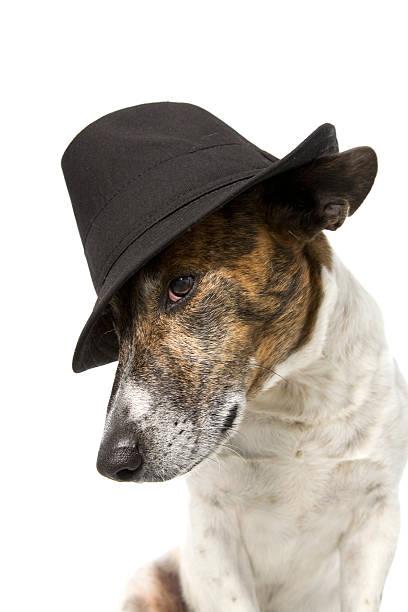 Dog in fedora hat picture id174681502?b=1&k=6&m=174681502&s=612x612&w=0&h= t02o bjz393hgfl 9vllhhmatpokqslqq7gu1xpqlq=