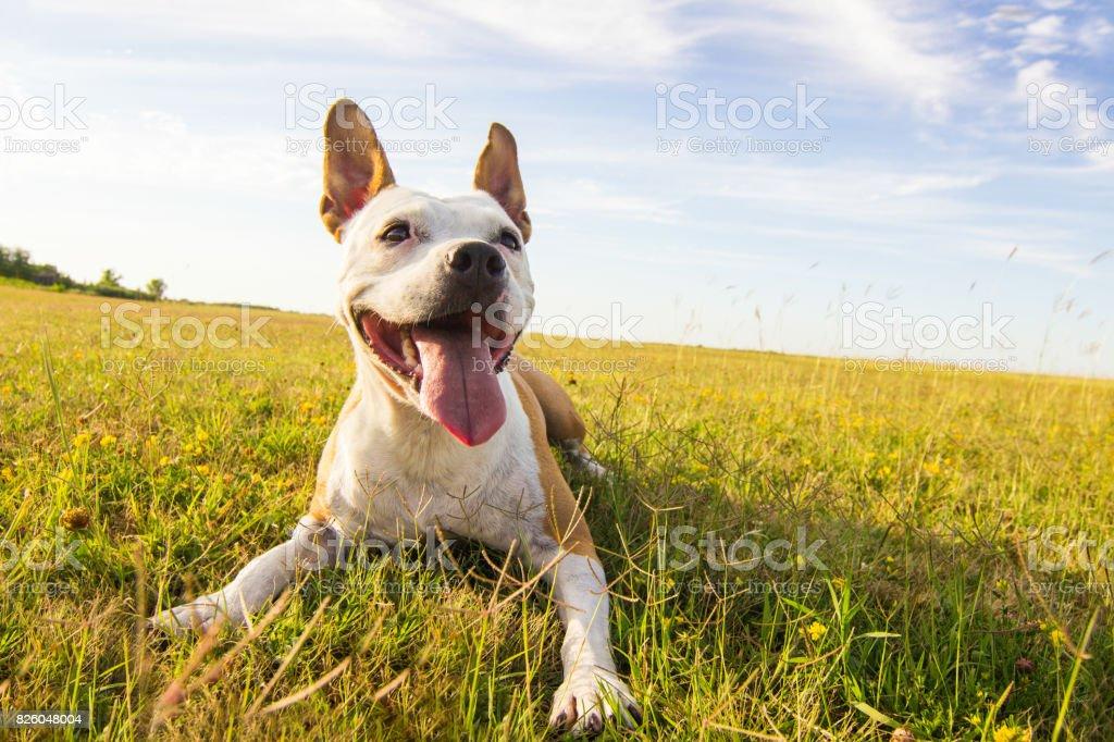 Dog in field portrait stock photo