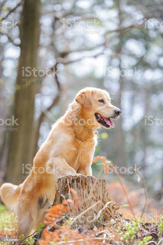 Dog in forest royalty-free stock photo