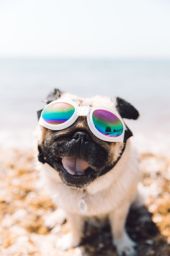 Dog in glasses have vacation in Croatia