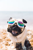 Funny fluffy cute pug having fun at the sea beach in Umag city, Croatia