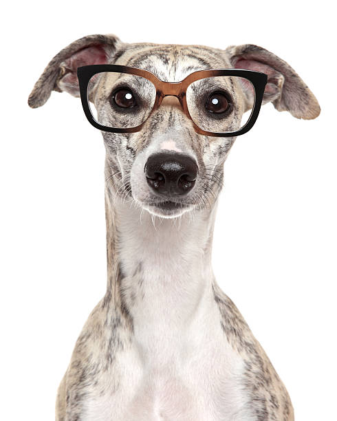 Dog in glasses on white background Close-up portrait of a dog in glasses, on white background sight hound stock pictures, royalty-free photos & images