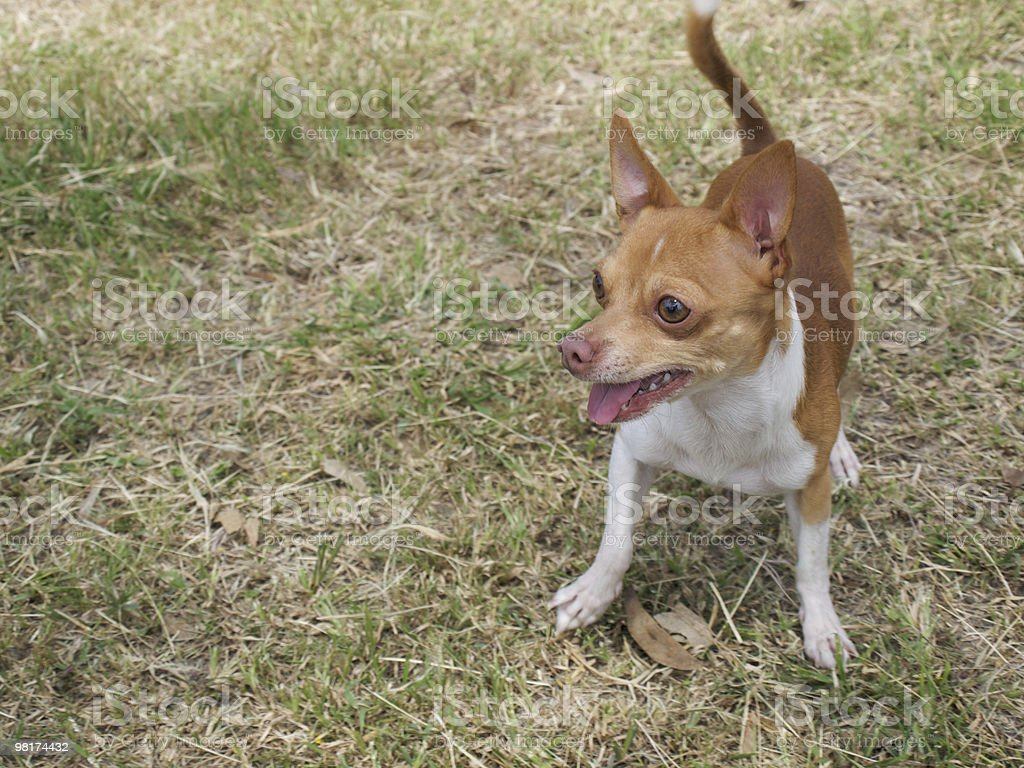 Dog in Grass royalty-free stock photo