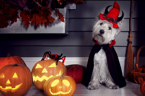 Funny west highland white terrier dog in scary Halloween costume and red hat with devil horns sitting outdoor with  pumpkins lanterns with fear spooky faces. Halloween night decorations concept.