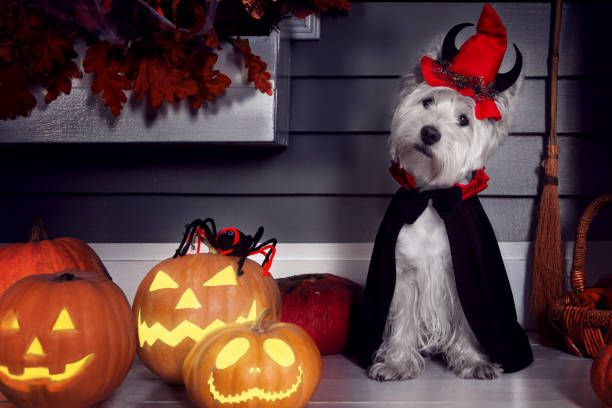Dog in Halloween Dracula costume Funny west highland white terrier dog in scary Halloween costume and red hat with devil horns sitting outdoor with  pumpkins lanterns with fear spooky faces. Halloween night decorations concept. costume stock pictures, royalty-free photos & images