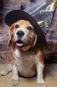 Dog in Halloween outfit.Beagle in helloween.