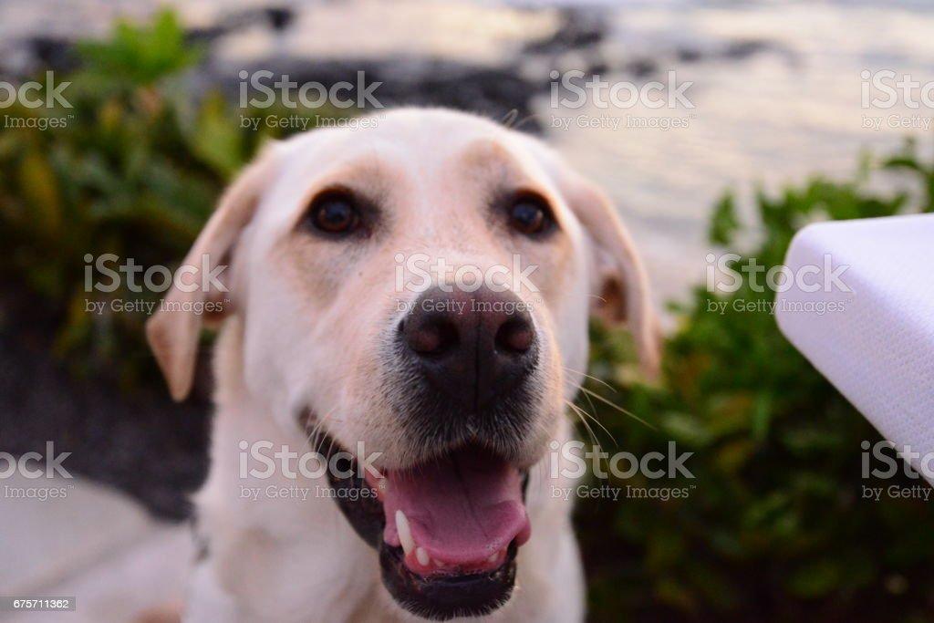 Dog in Hawaii royalty-free stock photo