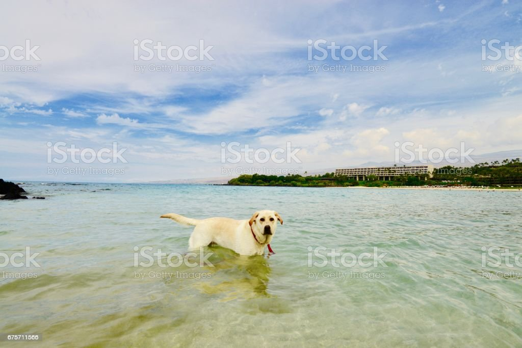 Dog in Hawaii royalty-free stock photo