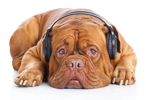 dog in headphones is listening to the music stock photo