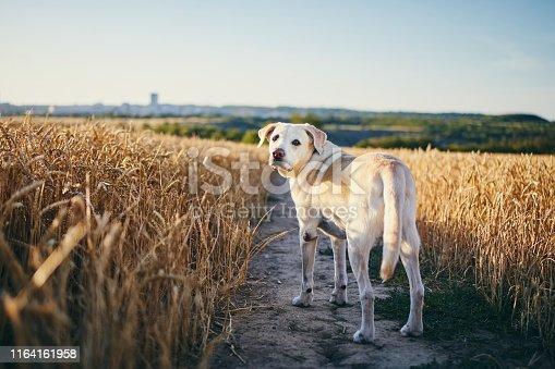 istock Dog in heat summer day 1164161958