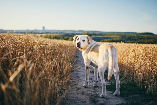 Dog in heat summer day stock photo