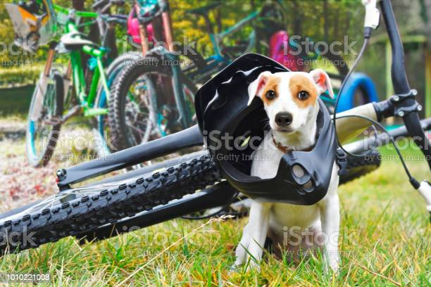 Dog in helmet sitting on bicycle background picture id1010221008?b=1&k=6&m=1010221008&s=612x612&h=naat8ivhuxue50ocmx61aqxekqnmvr8 dqhsfjm1fqq=
