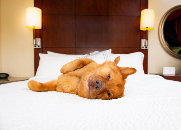 Dog in hotel room.