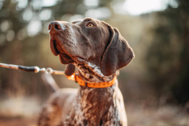 hund auf der jagd - dressierter hund stock-fotos und bilder