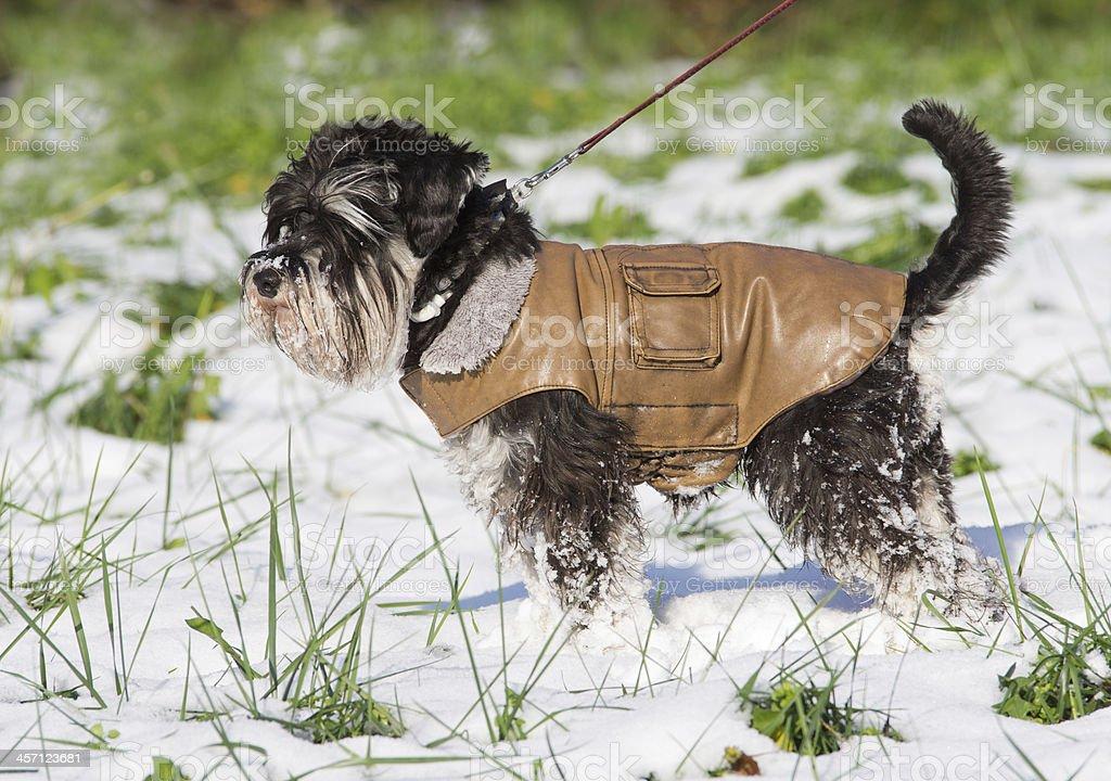 Dog in jacket stock photo