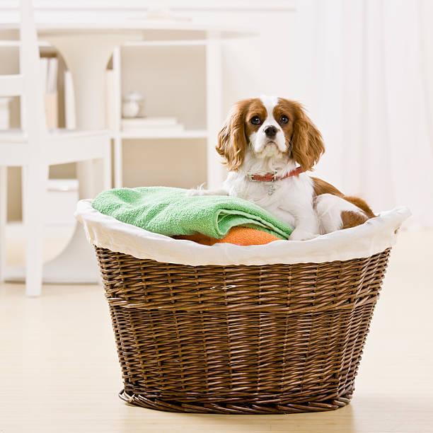 Dog in Laundry Basket stock photo