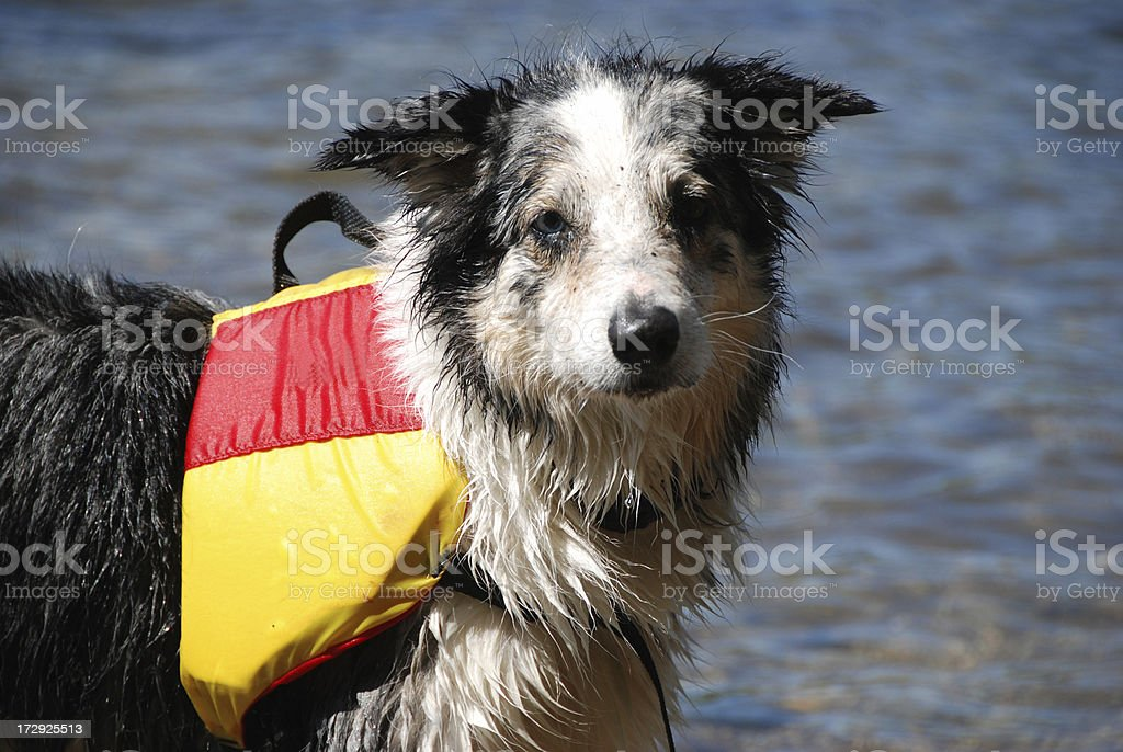 Dog in Life Vest royalty-free stock photo