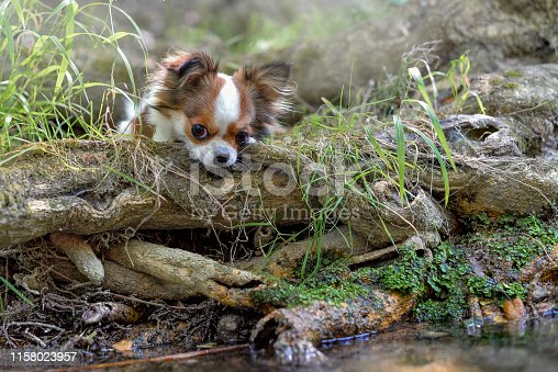 chihuahua lies on the root of a tree near the river