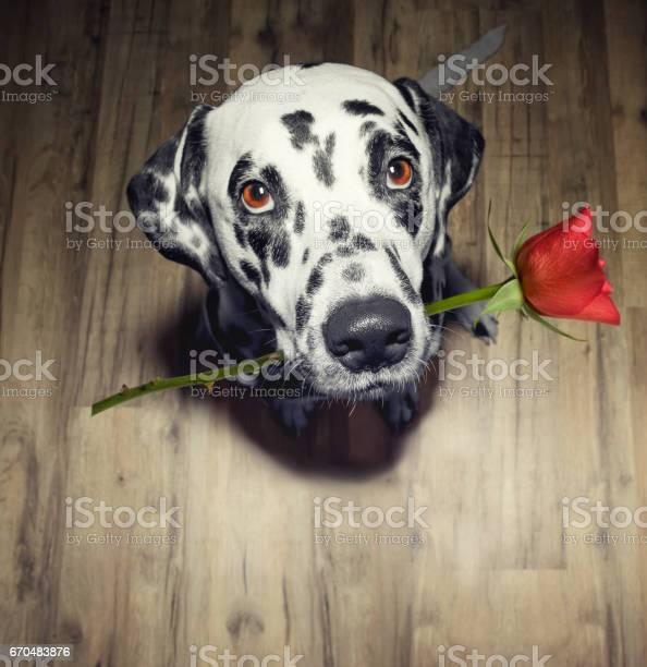 Dog in love with red rose in the mouth present it picture id670483876?b=1&k=6&m=670483876&s=612x612&h=0tq1dqzldkbvaeigpj1lc0lflutxe uqe2feuuxbmgi=