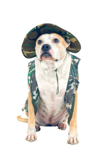 Dog in military attire isolated on a white background picture id664446344?b=1&k=6&m=664446344&s=612x612&w=0&h=z6zuhxakwmzpggpg9emsnpex vgfdu1cnxb iycm1qi=