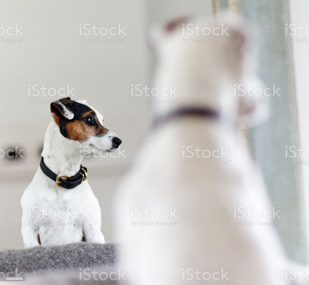 Dog in mirror royalty-free stock photo