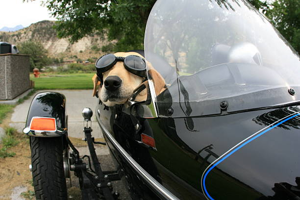 Dog In Motorcycle Sidecar stock photo