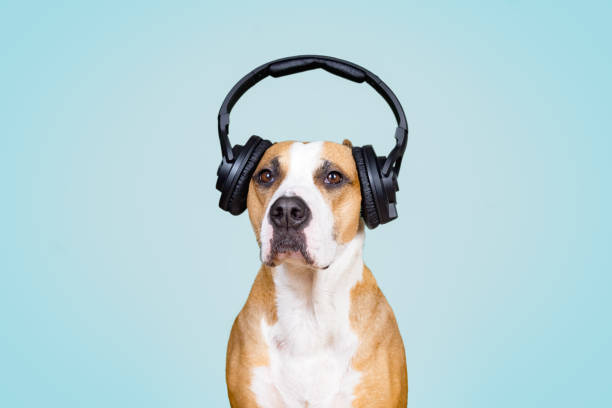 Dog in noise cancelling headphones, blue isolated background. stock photo