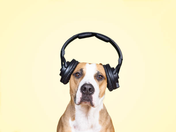 Dog in noise cancelling headphones, yellow isolated background. stock photo
