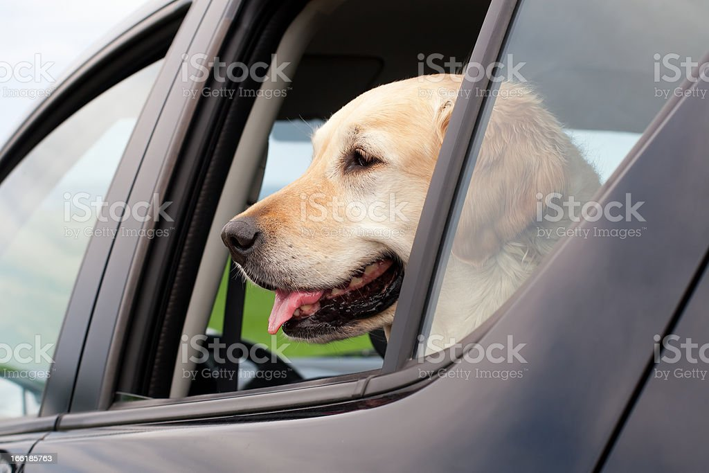 Dog in parked car royalty-free stock photo