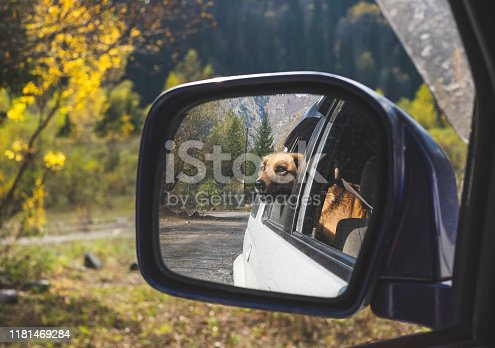Dog in rear-view mirror. Traveling by car with dog in autumn
