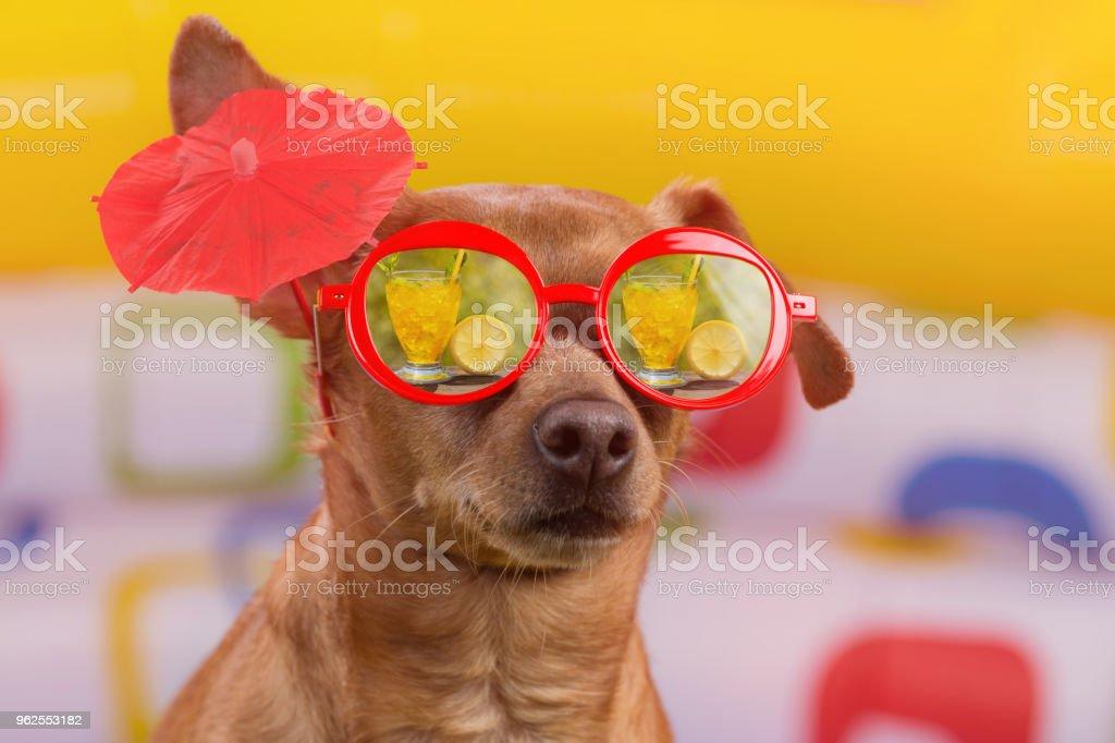 cão de óculos vermelhos com um cocktail sinal na orelha, reflexo em óculos tropical cocktail, sobre fundo colorido brilhante, o conceito de férias e turismo - Foto de stock de Animal royalty-free