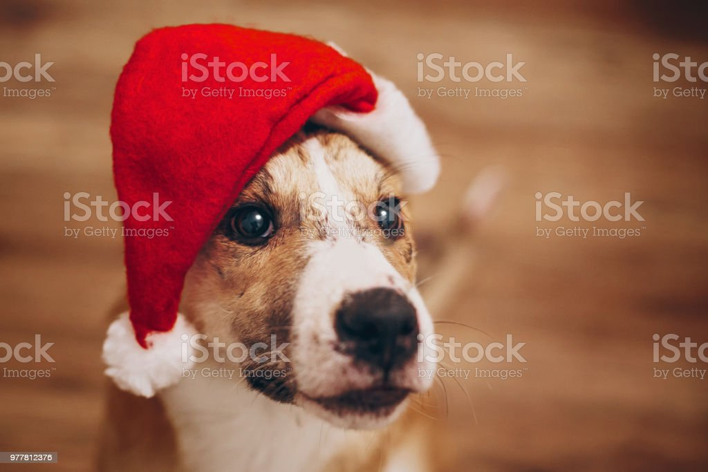 dog in santa hat merry christmas and happy new year concept space for text