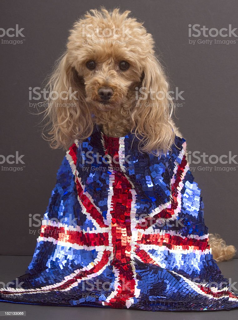 Dog in Sequins for England royalty-free stock photo