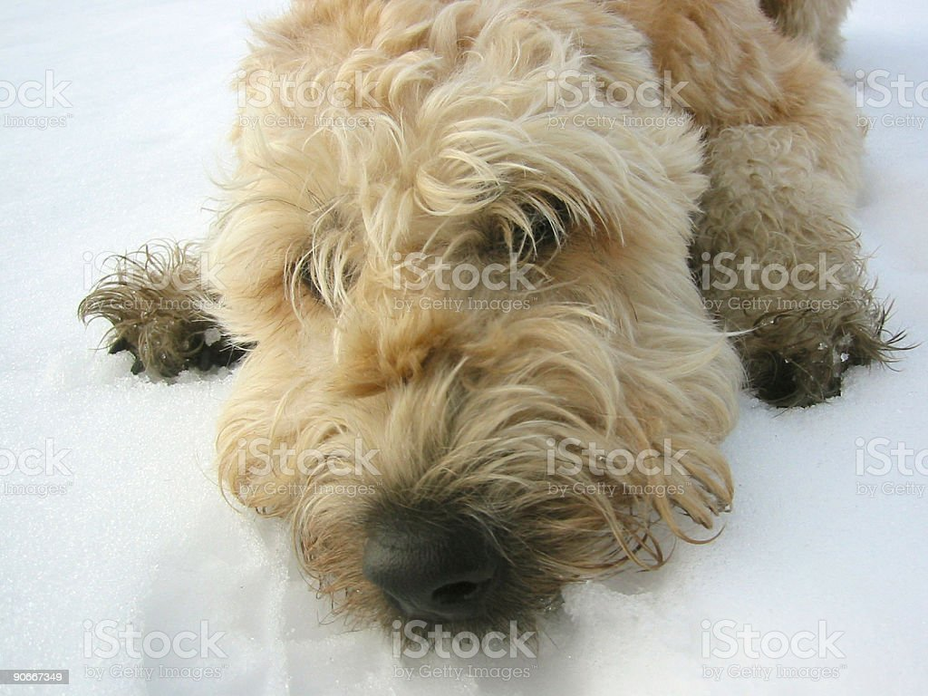Dog in snow 2 royalty-free stock photo