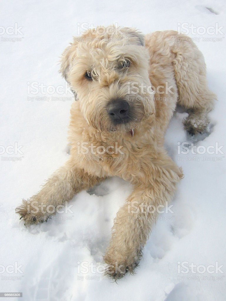 Dog in snow royalty-free stock photo