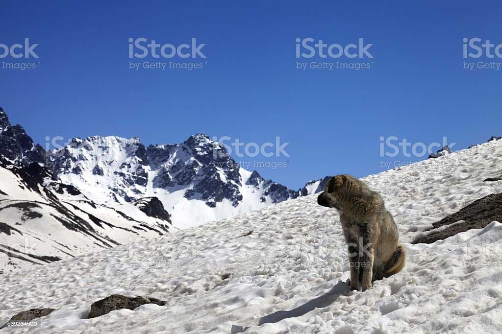 Dog in snowy mountains at nice spring day royalty-free stock photo