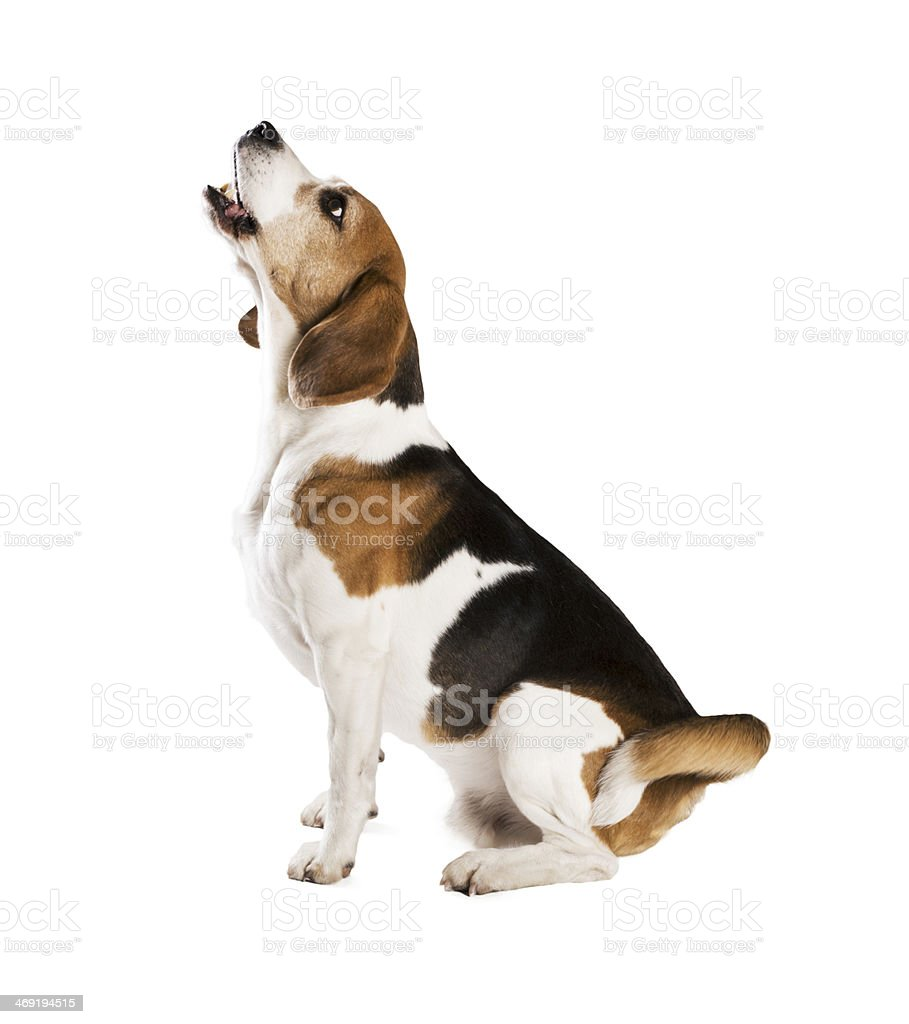 Dog in studio stock photo