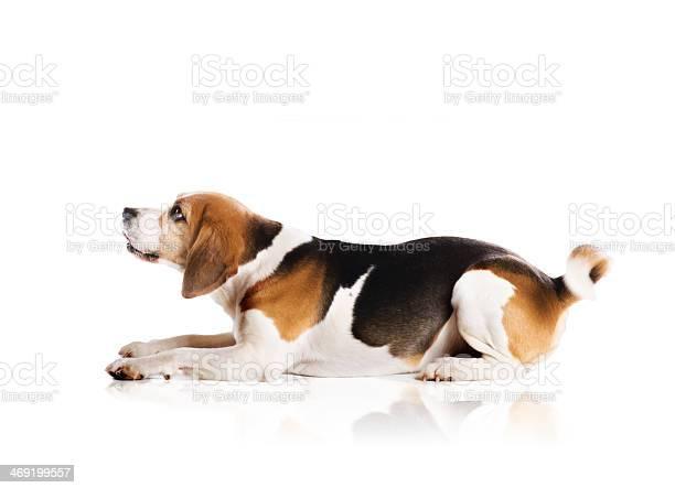 Dog in studio picture id469199557?b=1&k=6&m=469199557&s=612x612&h=k0hias0maipj7xqj0dmo2zs4oimothlefa pnmblvf0=